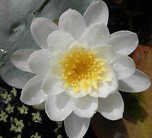 Perfect Water Lily, My Garden,Tumut, Australia. by kaysharp