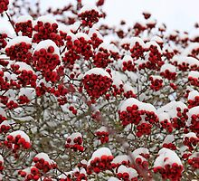 Red berries on a tree covered with snow by chris-csfotobiz
