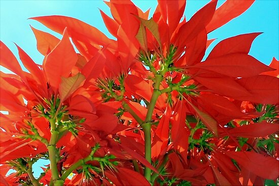 Euphorbia Pulcherrima: The Magnificent Poinsettia Plant by paintingsheep