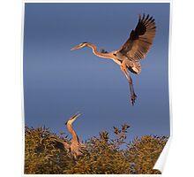 120410 Great Blue Herons Poster