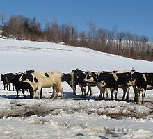 Cold Cows by vigor