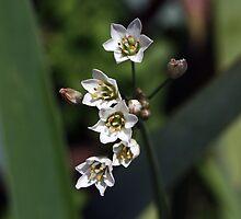 Nothoscordum inodorum by Daphne Gonzalvez