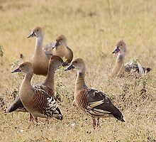 Plumed Whistling Duck by EnviroKey