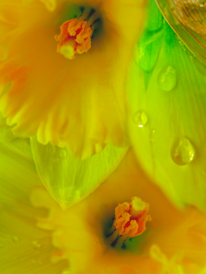 Daffodils And Raindrops by Diane Schuster