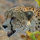 Cheetah up close by jozi1