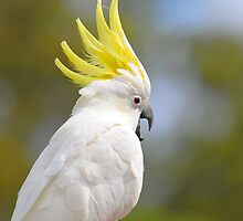 Female Sulphur Crested Cockatoo. Brisbane, Queensland, Australia. by Ralph de Zilva