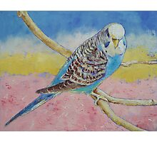 Sky Blue Budgie Photographic Print