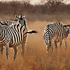 Zebra group by lucynab
