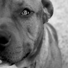 staffordshire bull terrier dogs by Ryan Conyers