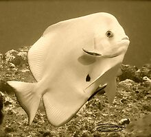 PLATAX ALBINOS! by NICK COBURN PHILLIPS