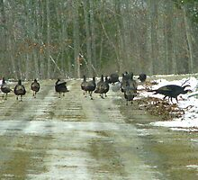 The First Winter Turkey Races in Maine by Patty Gross