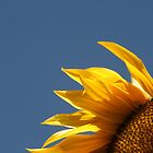 remember the summer? Sunflower blue sky by David  Moss