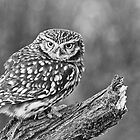 Bobby - Little Owl by Val Saxby