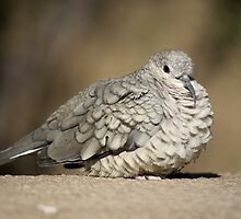 Inca Dove by Angela Pritchard