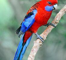 Crimson Rosella. Brisbane, Queensland, Australia. by Ralph de Zilva