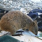 Quokka on the Beach by Lyn Fabian
