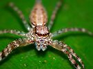 Jumping Spider - Macro by kutayk