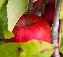 Apple nestled in the leaves by Diane Nemea Laessig