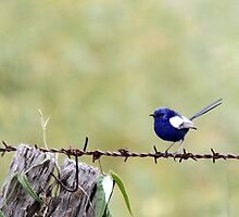 White-winged Fairy Wren by EnviroKey
