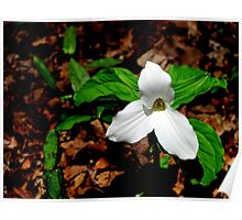 Trillium In Browns  Poster
