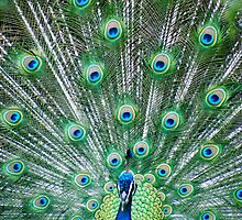 Peacock 2  by Fledermaus