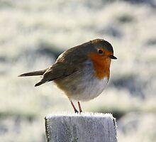 Cold Robin by scoff