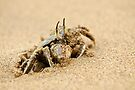 crab emerging out of sand by Flux Photography