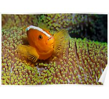 Ralley Clownfish Poster