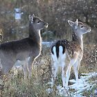 Fallow deer in the snow by DutchLumix