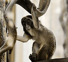 Young De Brazza's Monkey by buttonpresser