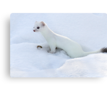 Ermine / Short Tailed Weasel Metal Print