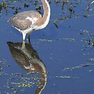 Immature tricolored heron with reflection by jozi1