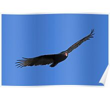 Turkey vulture in flight 2 Poster