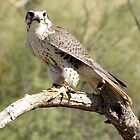 Prairie Falcon ~ Captive by Kimberly P-Chadwick