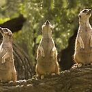 """""""Home Security System"""" - meerkats keep a lookout by John Hartung"""