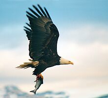 """Fish Fly"" - a bald eagle flying with fish by John Hartung"