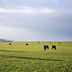 Early Morning Cows by petejsmith