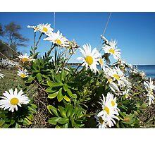 Montauk daisies Photographic Print