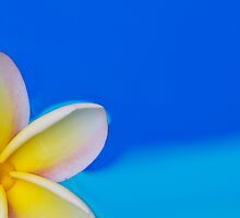 Floating Plumeria by Angelina Hills