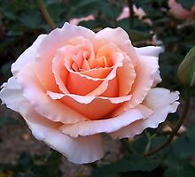 Peach coloured rose by Daphne Gonzalvez
