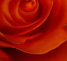 Unfolding rose by brandiejenkins