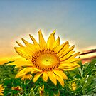 """Flowering Sun"" - sun setting behind sunflower by John Hartung"