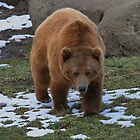 Grizzly Bear Montana by AnnDixon