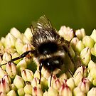 Busy Bee by Trevor Kersley