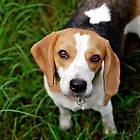 Bonnie Beagle by { wetnosefotos.com  }