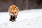 Red Fox, Algonquin Park, Canada. by Daniel Cadieux