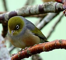Monday Blues! - Silvereye - NZ by AndreaEL