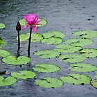water lilies in the summer rain by Gerry Daniel
