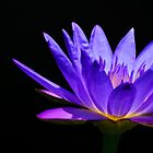 purple water lily against a black background by Gerry Daniel