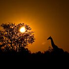 Early morning Giraffe silhouette, Moremi Game Reserve Botswana by Neville Jones
